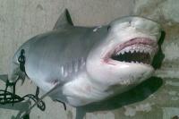 Sežrán žralokem